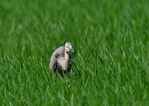 ムラサキサギ若鳥2716