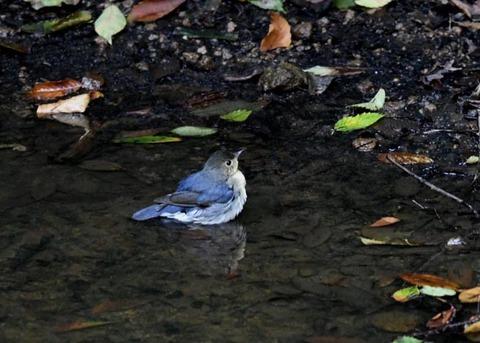 コルリ♂幼鳥7292