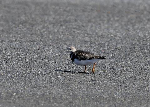 キョウジョシギ幼鳥6007