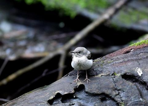 キセキレイ幼鳥8162