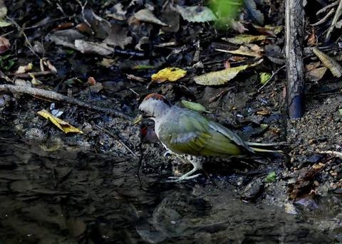 アオゲラ幼鳥♂8560