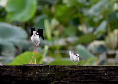 クロハラアジサシ幼鳥2930