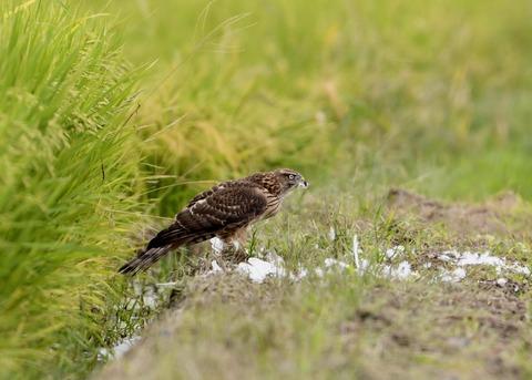 オオタカ若鳥3100