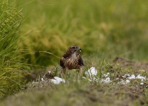 オオタカ若鳥3281