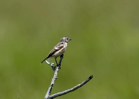ノビタキ幼鳥5201
