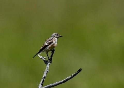 ノビタキ幼鳥5202