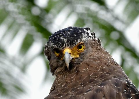 カンムリワシ成鳥5775
