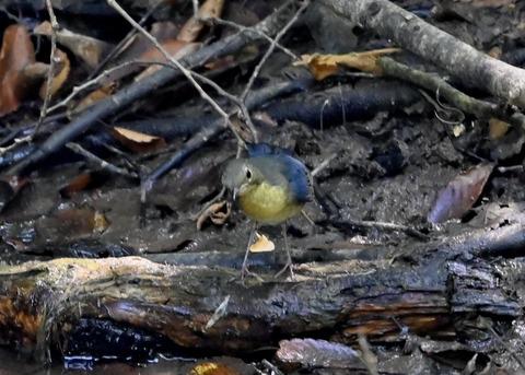 コルリ♂幼鳥2636