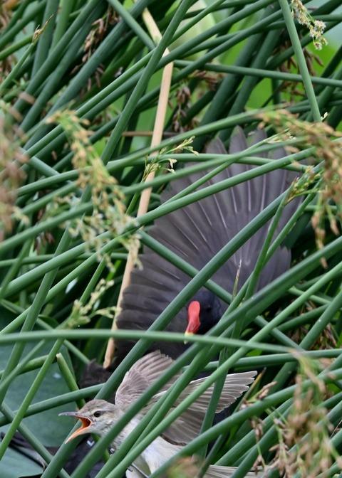 オオヨシキリ幼鳥8521