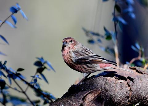 オオマシコ若鳥8948