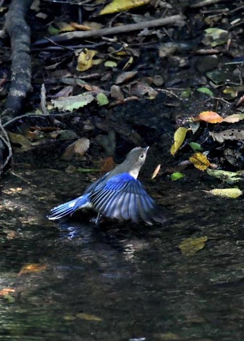 オオルリ幼鳥♂8347
