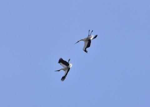 飛ぶ・コウノトリ(きずな&きらら)7603