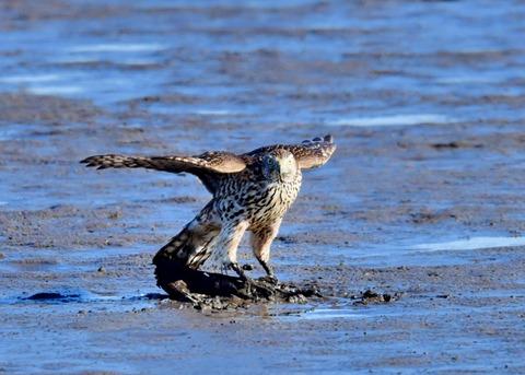 オオタカ若鳥0757