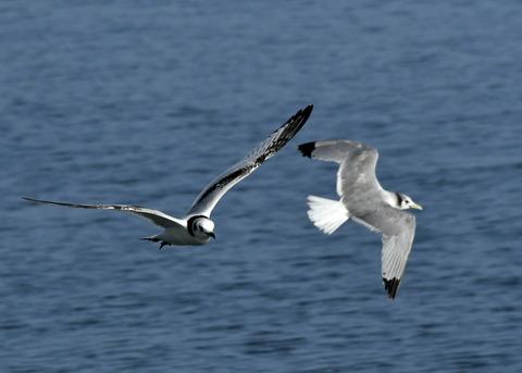ミツユビカモメ第一回冬羽と成鳥5396