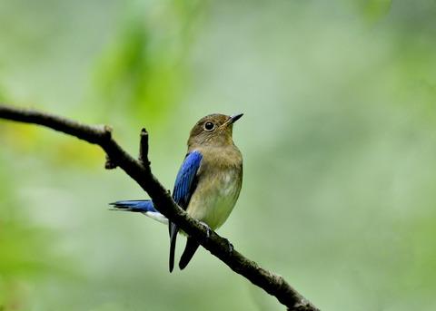 オオルリ♂若鳥0685
