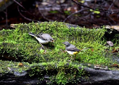 キセキレイ幼鳥8218