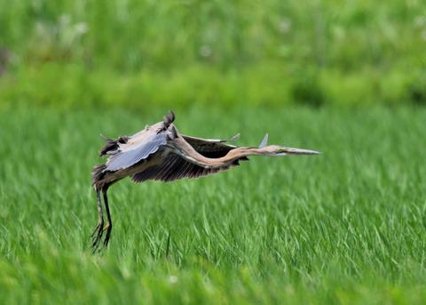 ムラサキサギ若鳥2141