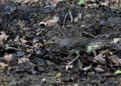 クロツグミ幼鳥5895