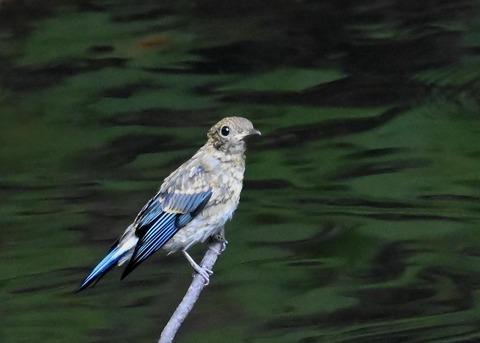 オオルリ幼鳥②6532