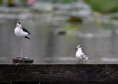 クロハラアジサシ幼鳥2678