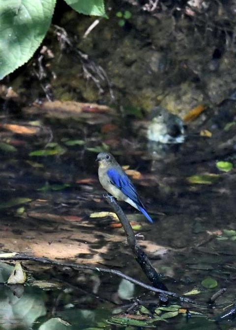 オオルリ幼鳥♂8185