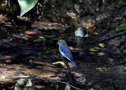 オオルリ幼鳥♂8148