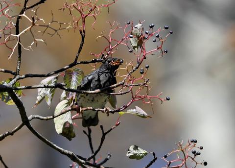 クロツグミ幼鳥3352