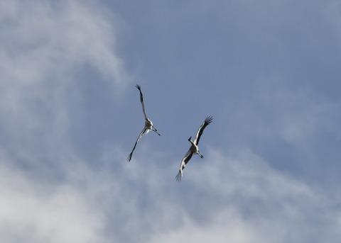 飛ぶ・コウノトリ(きずな&きらら)7583