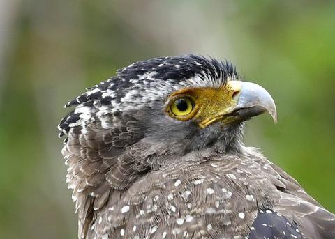 カンムリワシ成鳥5899