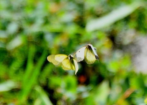 ミヤマモンキチョウ♂・♀2214◎