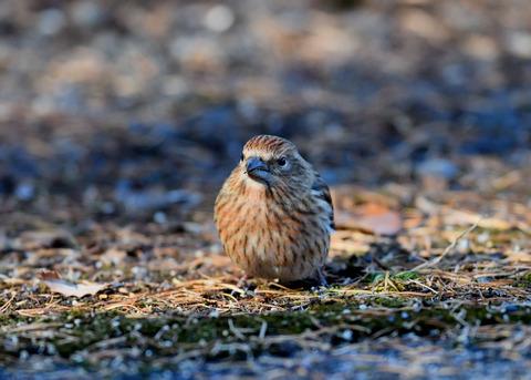 オオマシコ若鳥9514