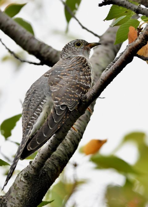 ツツドリ幼鳥5198