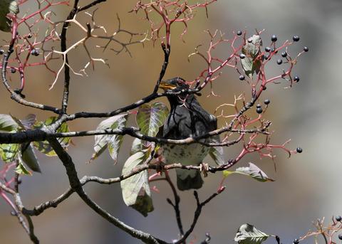 クロツグミ幼鳥3354