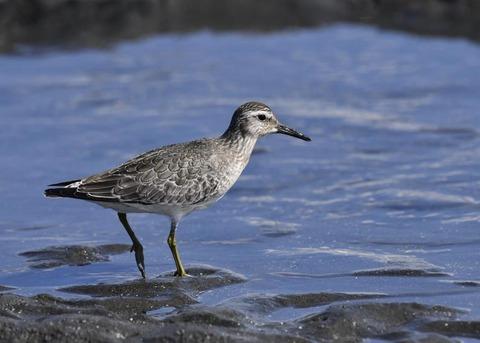 コオバシギ幼鳥0241