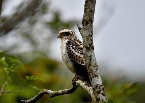 カンムリワシ若鳥6375