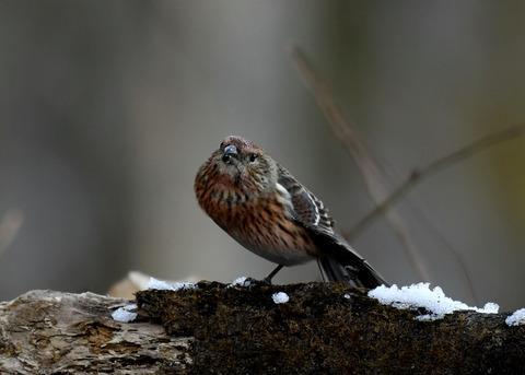 オオマシコ若鳥9611