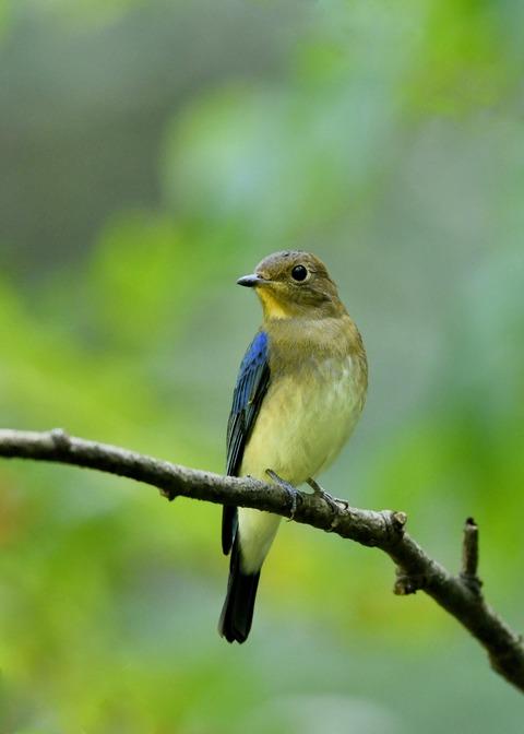 オオルリ♂若鳥1190