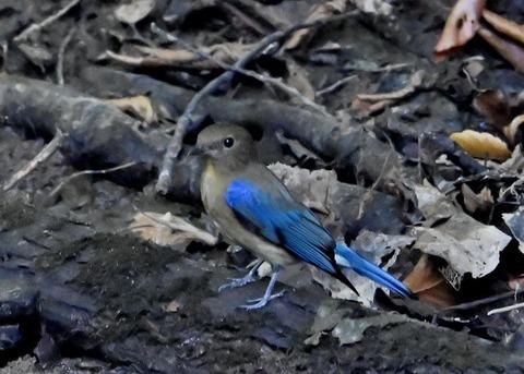 オオルリ幼鳥①6422