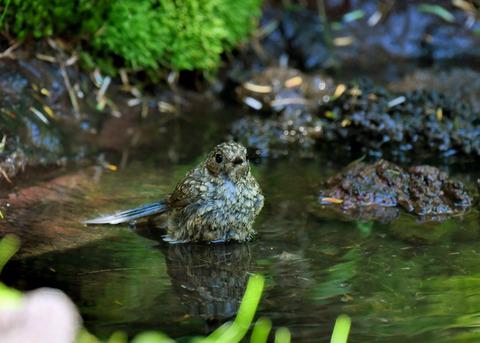 ルリビタキ幼鳥1895