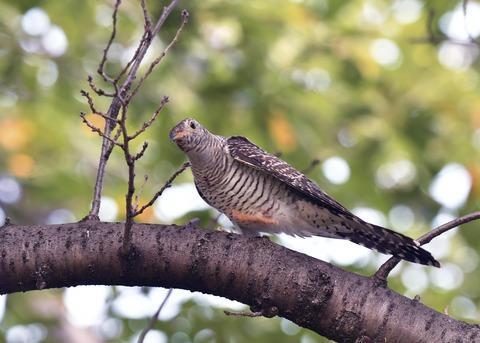 ツツドリ幼鳥6004