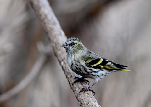 マヒワ若鳥3280