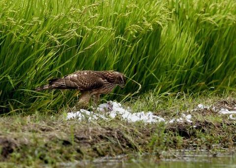 オオタカ若鳥2868