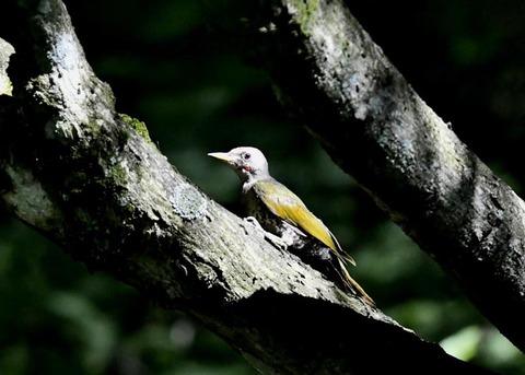 アオゲラ幼鳥♂8495