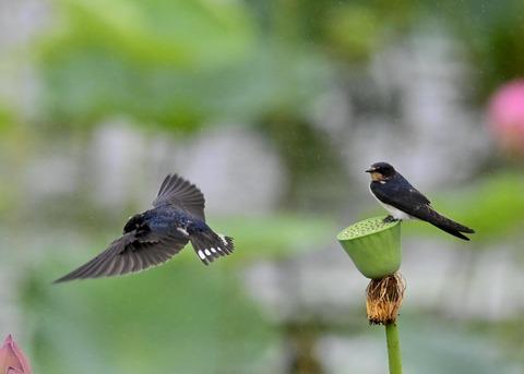 ツバメ幼鳥7480-01