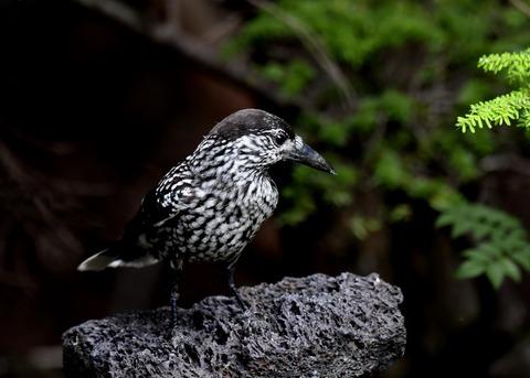 ホシガラス幼鳥3912