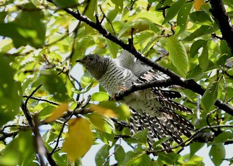 ツツドリ幼鳥6234