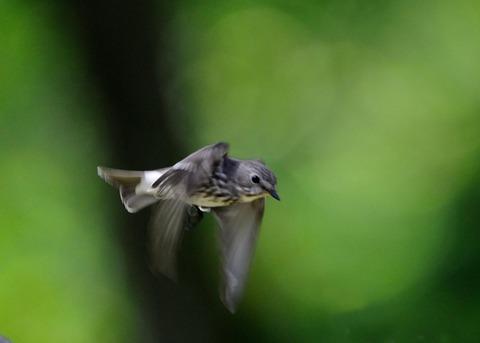 飛ぶ・エゾビタキ8783