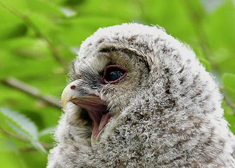 フクロウのヒナ0830