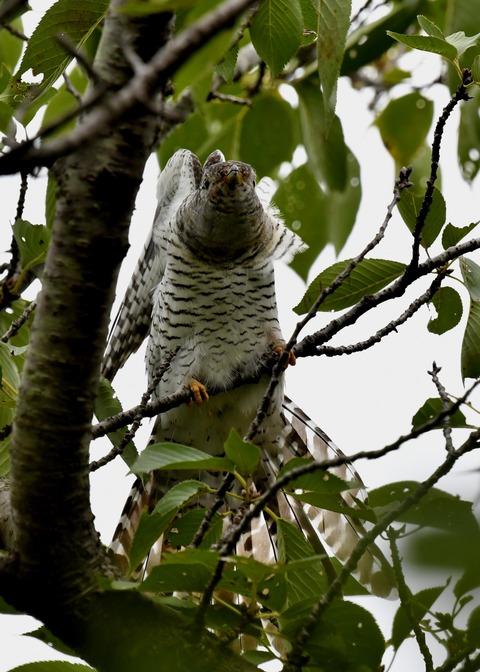 ツツドリ幼鳥5577