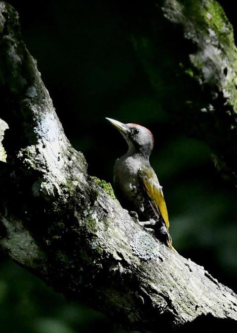 アオゲラ幼鳥♂8500